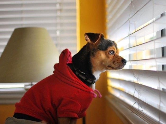 Dog in red hoodie peers through blinds